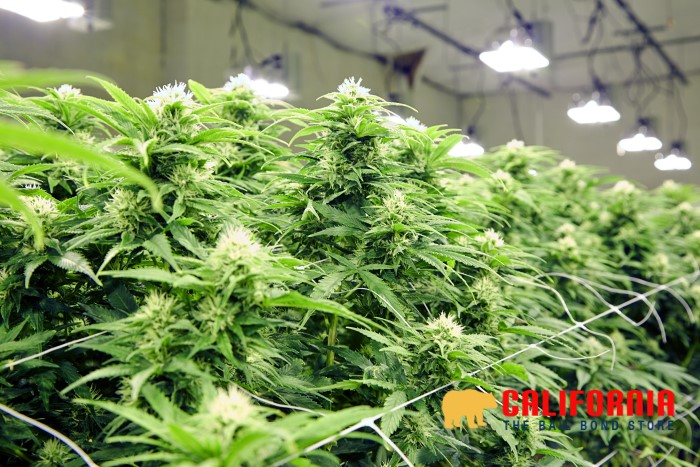 California's Drug Cultivation Laws